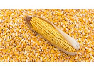 Купим ячмінь, пшеницю - Одеса